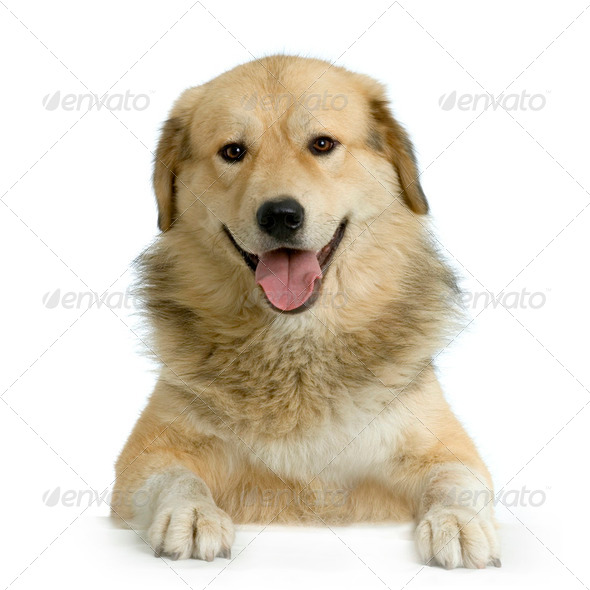 Anatolian Shepherd Dog - Stock Photo - Images