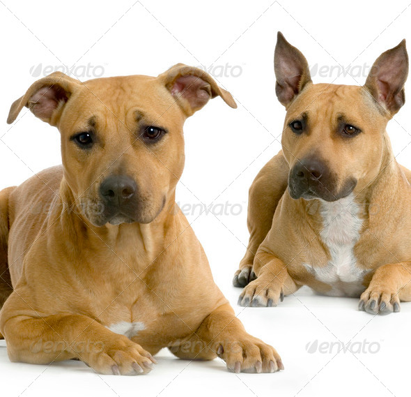 two American Staffordshire terrier - Stock Photo - Images