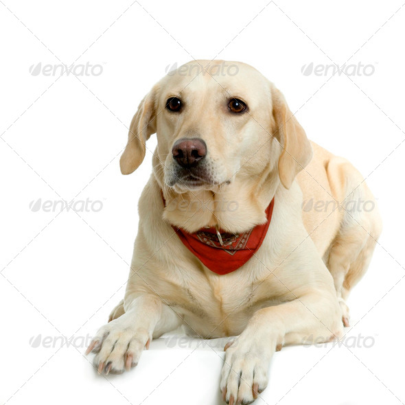 Labrador retriever cream wearing a red scarf - Stock Photo - Images