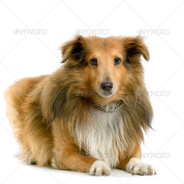 sheltie - Stock Photo - Images