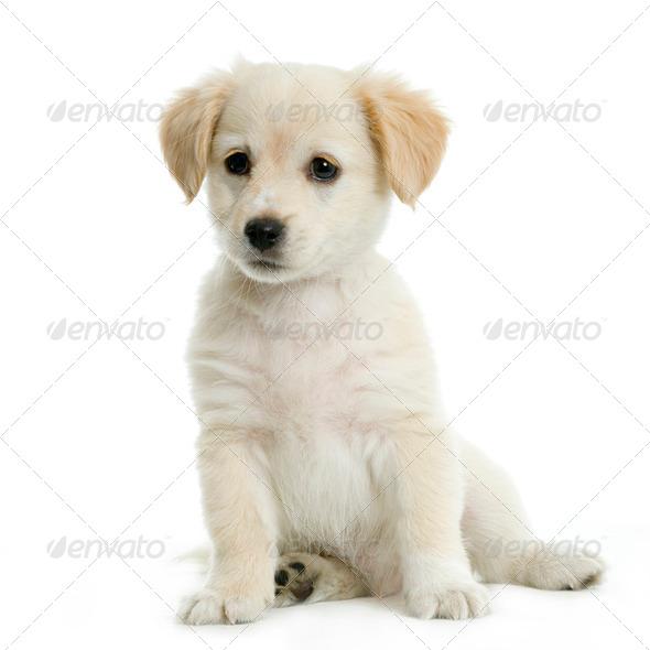 Labrador retriver cream - Stock Photo - Images