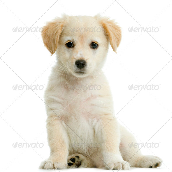 Labrador retriever cream - Stock Photo - Images