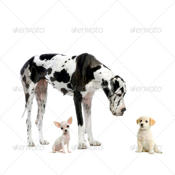 Great Dane, puppy Chihuahua and puppy Labrador - Stock Photo - Images