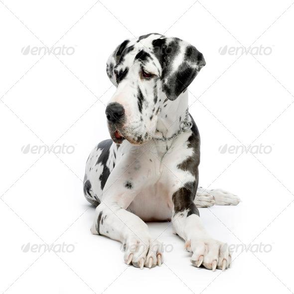 Great Dane HARLEQUIN - Stock Photo - Images