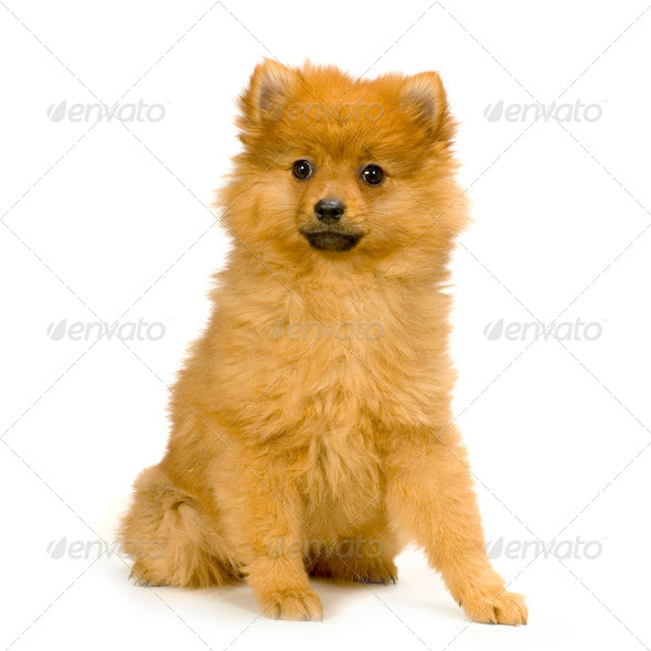 Spitz - Stock Photo - Images