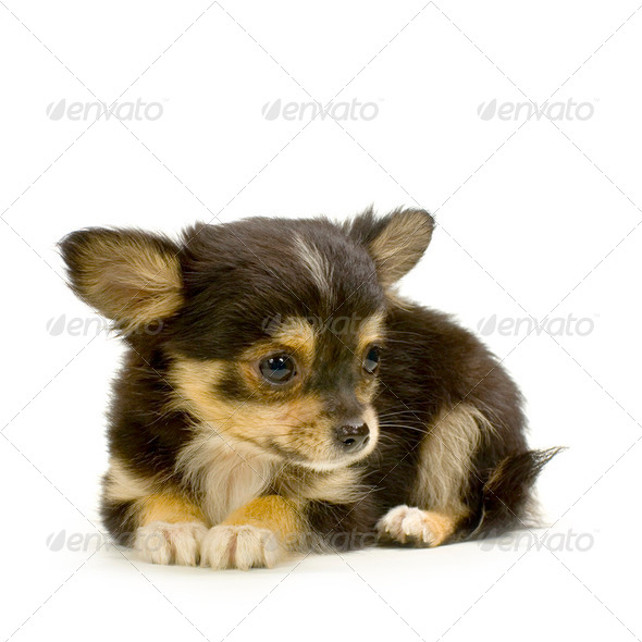 long haired chihuahua - Stock Photo - Images