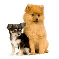 a long haired chihuahua and a spitz