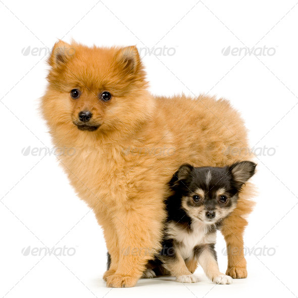 a long haired chihuahua and a spitz - Stock Photo - Images
