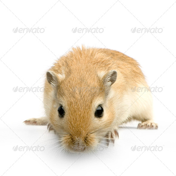 Gerbil - Stock Photo - Images