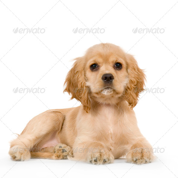 Puppy American Cocker Spaniel - Stock Photo - Images