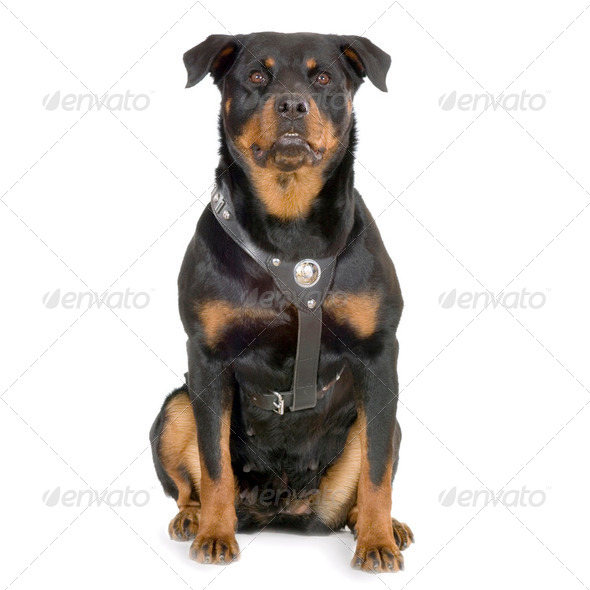 Rottweiler - Stock Photo - Images