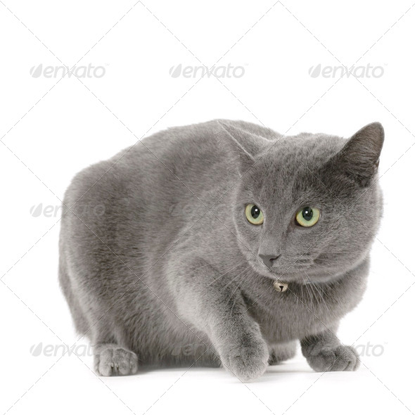 Chartreux - Stock Photo - Images