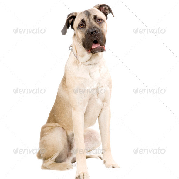 Cane Corso Italiano - Stock Photo - Images