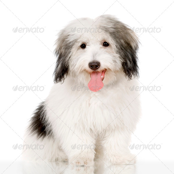 Coton de Tulear - Stock Photo - Images
