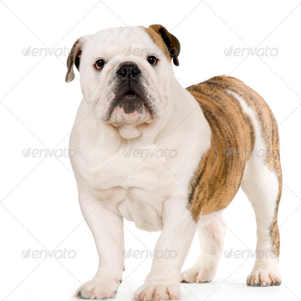 Young english Bulldog - Stock Photo - Images