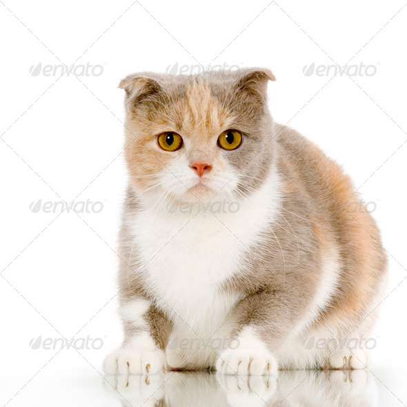 Scottish Fold - Stock Photo - Images