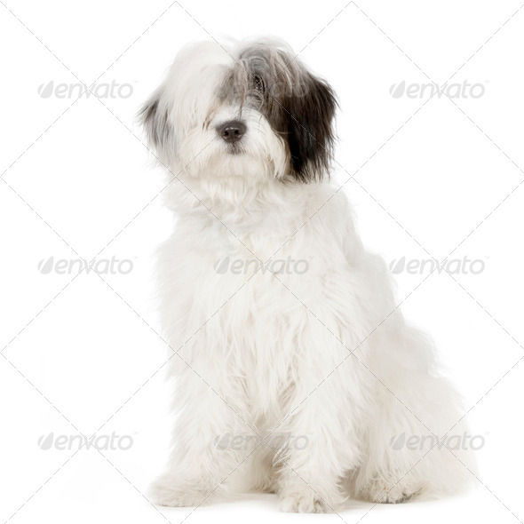 Old English Sheepdog - Stock Photo - Images