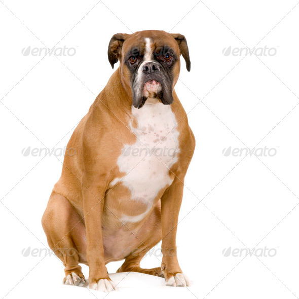 Boxer - Stock Photo - Images