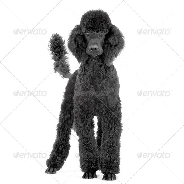 royal Poodle - Stock Photo - Images