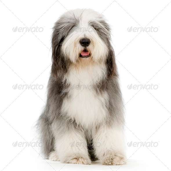 Bearded Collie - Stock Photo - Images