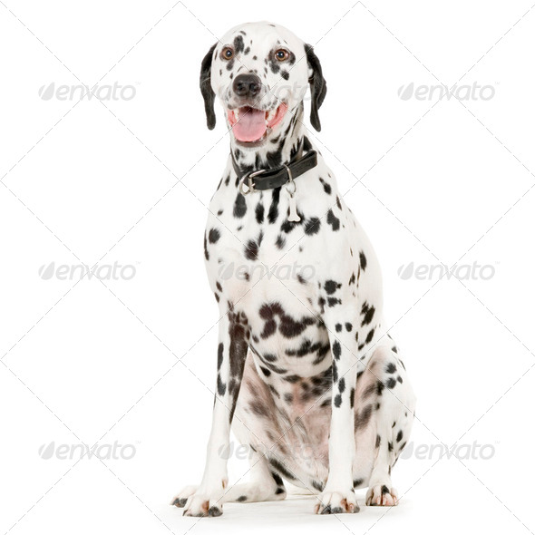 Dalmatian In Front Of White Background - Stock Photo - Images