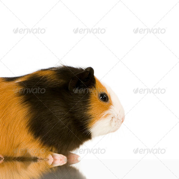 guinea pig - Stock Photo - Images