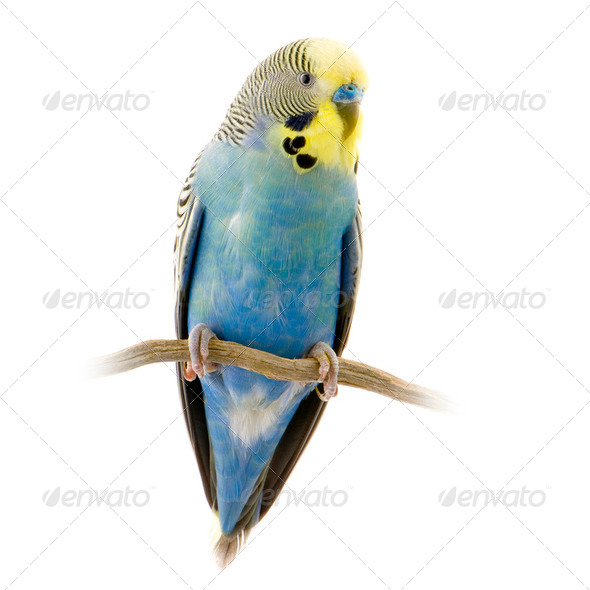 blue and yellow budgie - Stock Photo - Images