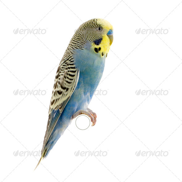 yellow and blue budgie - Stock Photo - Images