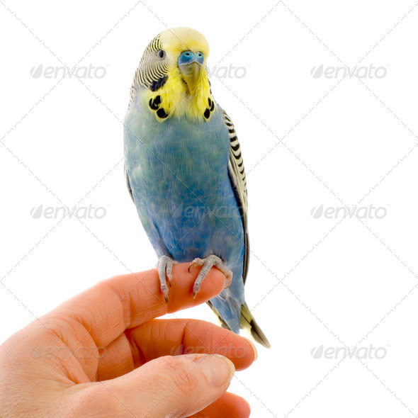 budgie on a hand - Stock Photo - Images