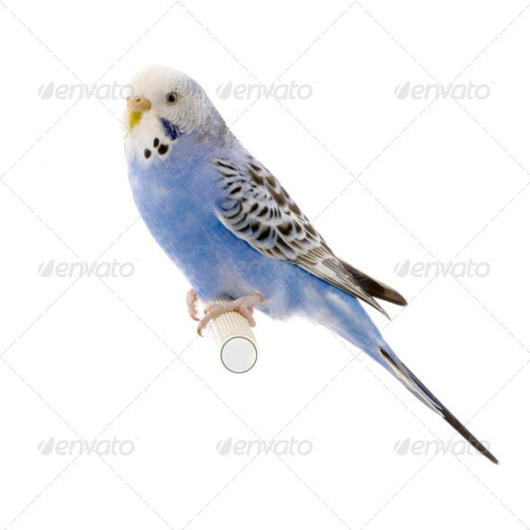 blue and white budgie - Stock Photo - Images