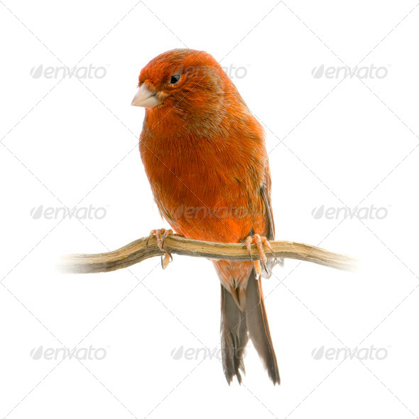 Red canary on its perch - Stock Photo - Images