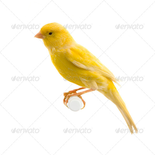 Yellow canary on its perch - Stock Photo - Images