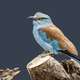European roller (Coracias garrulus) bird - PhotoDune Item for Sale