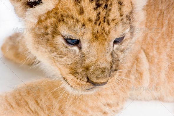 Lion Cub's c - Stock Photo - Images