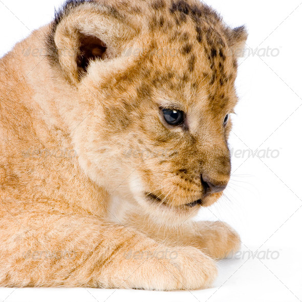 Lion Cub's c - Stock Photo - Images