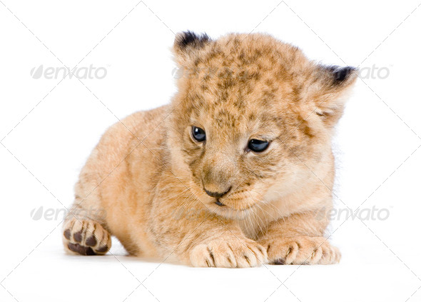 Lion Cub lying down - Stock Photo - Images