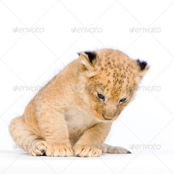 Lion Cub sitting - Stock Photo - Images