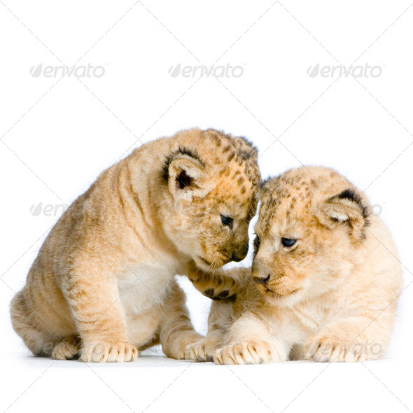 two Lion Cubs - Stock Photo - Images