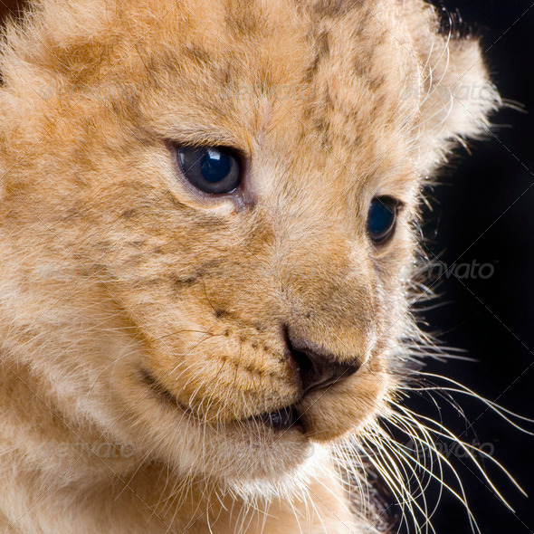 Lion Cub - Stock Photo - Images