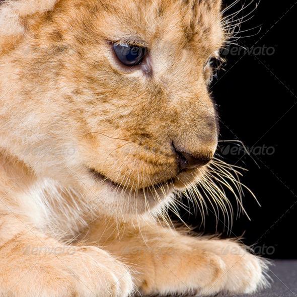 Lion Cub - Stock Photo - Images
