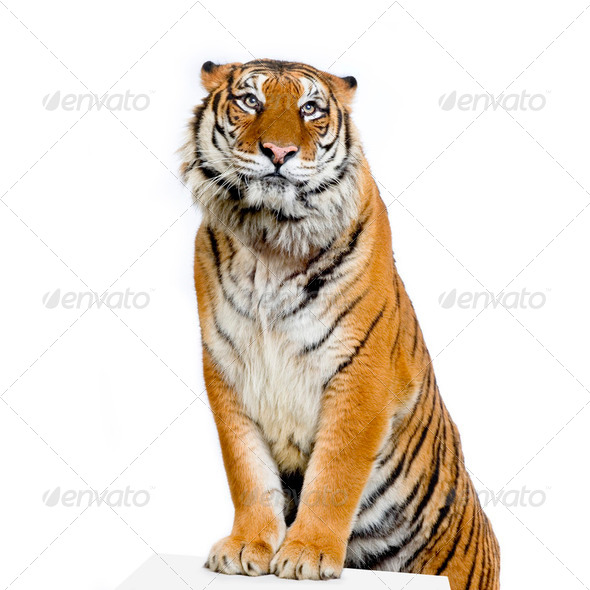 Tiger's posing - Stock Photo - Images