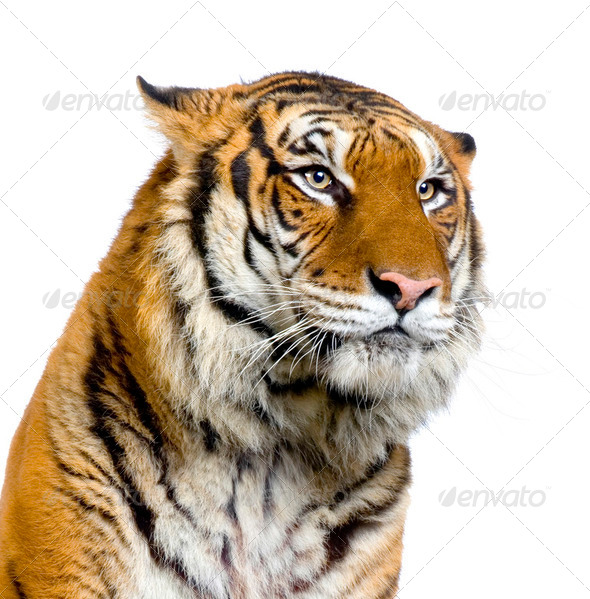 Tiger's face - Stock Photo - Images