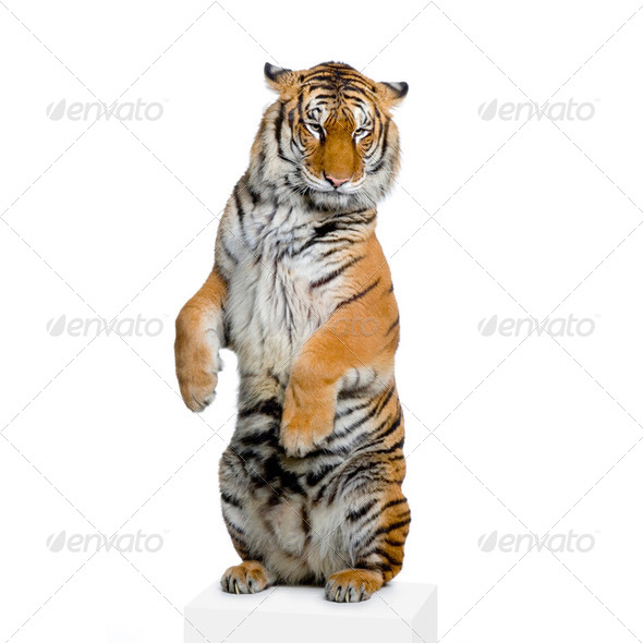 Tiger standing up - Stock Photo - Images