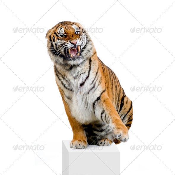 Tiger Snarling - Stock Photo - Images