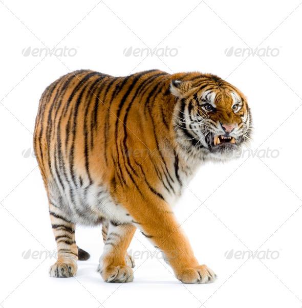 Tiger walking - Stock Photo - Images