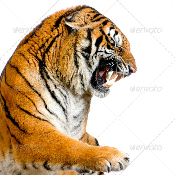 Tiger's Snarling - Stock Photo - Images