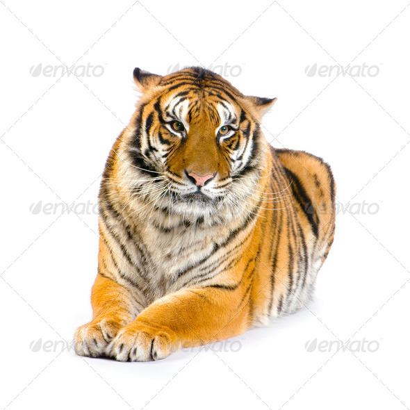 Tiger lying down - Stock Photo - Images