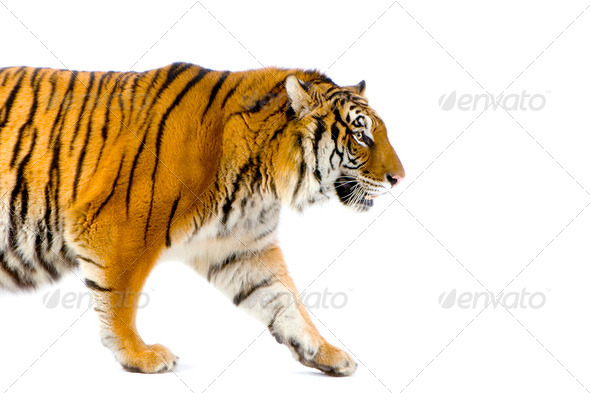 Tiger walking - Stock Photo - Images