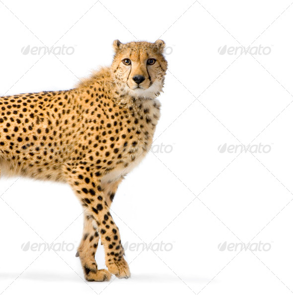 Cheetah Walking - Stock Photo - Images