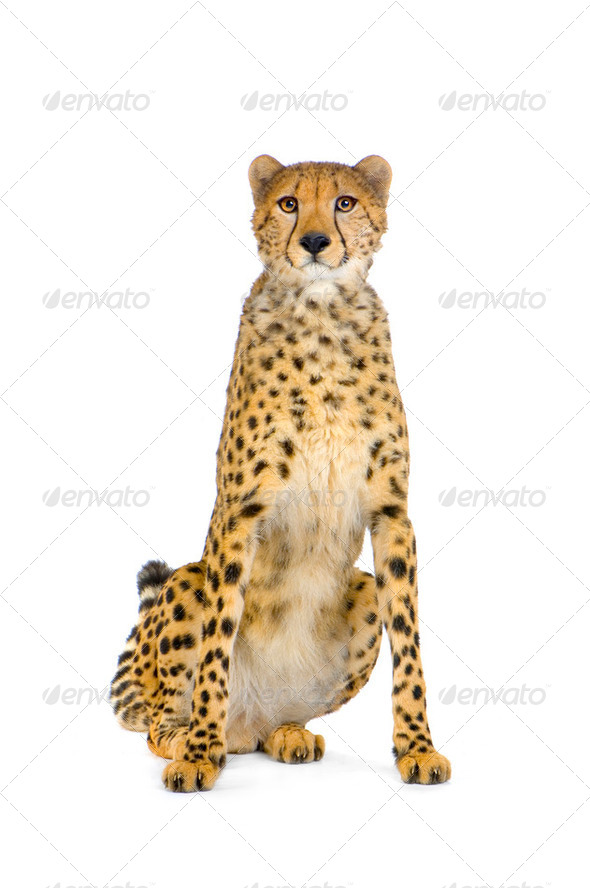 Cheetah sitting; - Stock Photo - Images